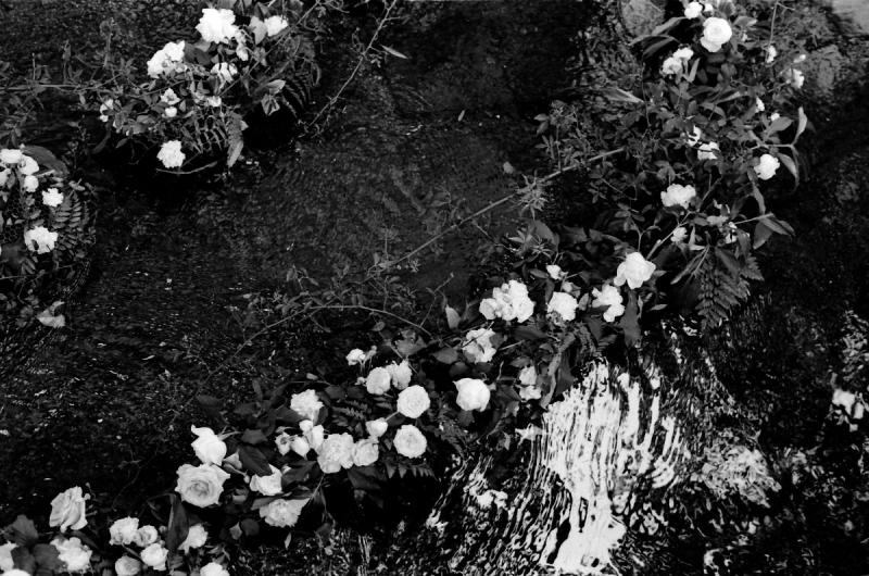 川面に薔薇が浮かぶ