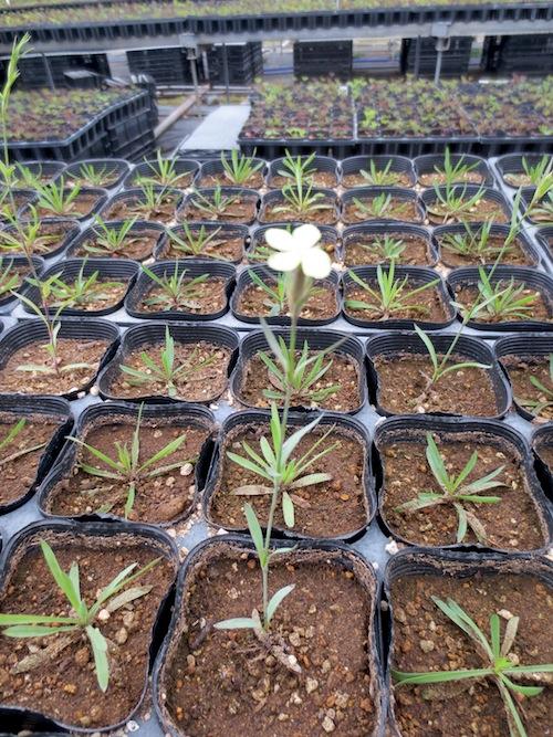 Dianthus knappii ダイアンサス ナッピー キバナナデシコ イエローダイアンサス  ホタルナデシコ  生産 販売 松原園芸