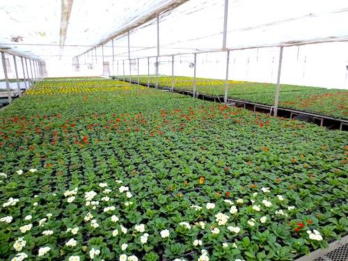 プリムラ ポリアンサ 肥後ポリアンサ 出荷 生産 販売 Primula polyantha サクラソウ科 松原園芸