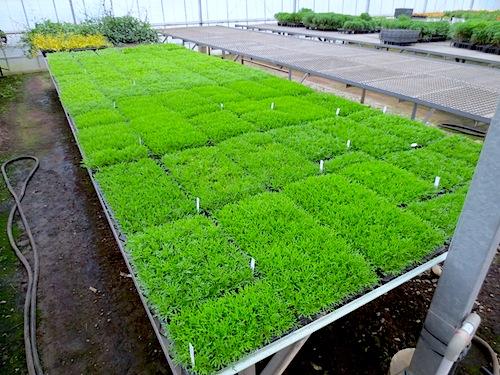 マーガレット 挿し芽 育種 生産 販売 松原園芸 Argyranthemum frutescens