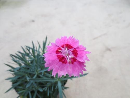 シルバーリーフ ナデシコ 銀葉 Dianthus  育種 生産 販売 松原園芸