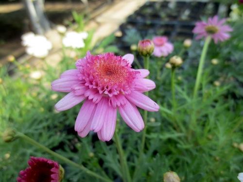 マーガレット ぽぽたん  育種 生産 販売 松原園芸 Argyranthemum frutescens