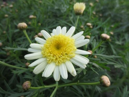 マーガレット ポポタン クリーム&イエロー  育種 生産 販売 松原園芸 Argyranthemum frutescens
