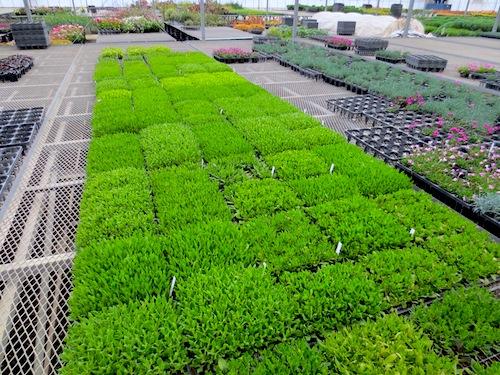 オステオスペルマム Osteospermum  セル苗 挿し芽 生産 販売 松原園芸