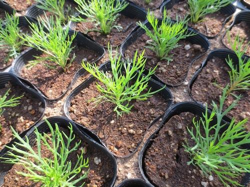 マーガレット ポポタン  育種 生産 販売 松原園芸 Argyranthemum frutescens