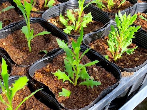 オステオスペルマム Osteospermum  生産 販売 松原園芸