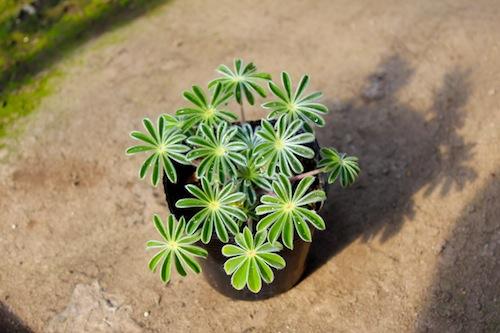 傘咲きルピナス Lupinus hirsutus 播種 タネ 種子  生産 販売 松原園芸