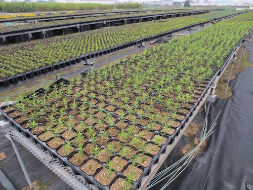 Achillea ptarmica 'Noblessa' アキレア ノブレッサ  生産 販売 松原園芸