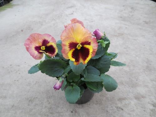 パンジー Viola 育種 品種改良 生産 販売 松原園芸
