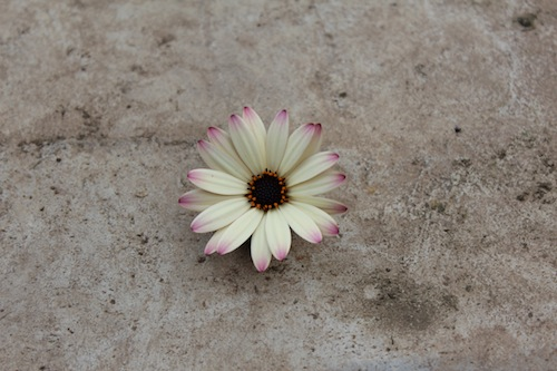 ラズベリーパフェ オステオスペルマム オステオスペルマム Osteospermum  生産 販売 松原園芸 新品種 育種