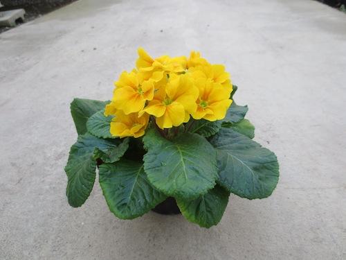 プリムラ ポリアンサ 肥後ポリアンサ 出荷 生産 販売 Primula polyantha サクラソウ科 松原園芸 花首が伸びる