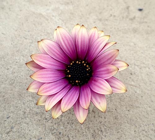 オステオスペルマム新品種 2016年春販売開始予定 アンティークパープル Osteospermum  生産 販売 松原園芸 新品種 育種