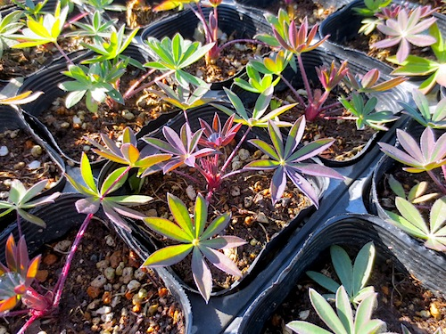 ルピナス Lupinus polyphyllus ラッセルルピナス  生産 販売 松原園芸