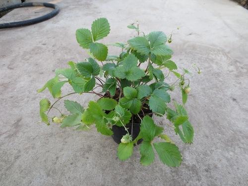白いイチゴ ワイルドストロベリー Fragaria vesca 育種 生産 販売 松原園芸