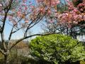 八重桜の下にはゴヨウツツジ