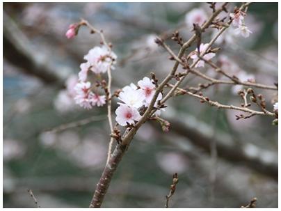 10月桜4