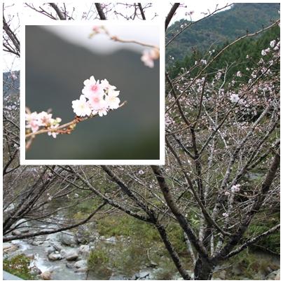10月桜5