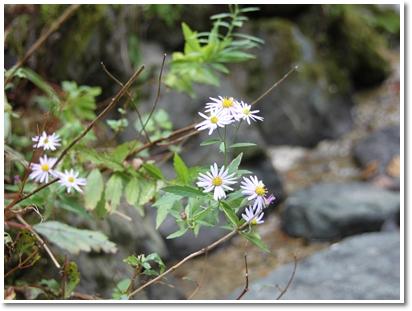 241016キク科の花