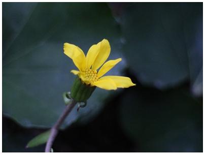 241201作品「ツワブキの花」