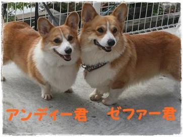 アンディー君と兄弟犬のゼファー君♪
