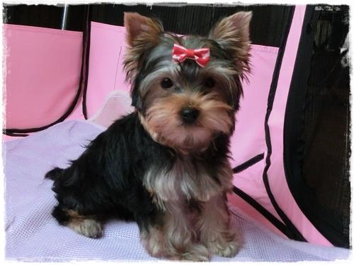 ヨーキー子犬 10月6日生まれ