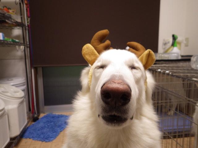 ホワイトスイスシェパード★エース★クリスマス忙しかった~