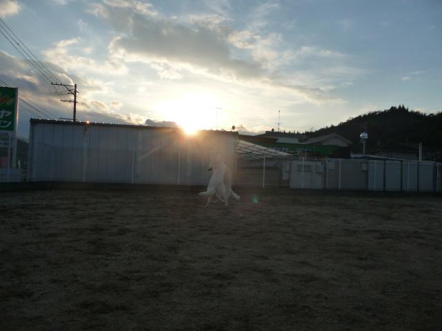 ホワイトスイスシェパード★ランスロット★&★ルーア★日が暮れます