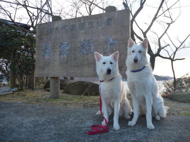 ホワイトスイスシェパード★リサ★&★エース★鼻栗瀬戸