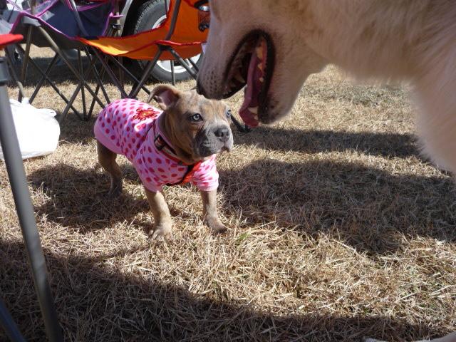 アメリカンピットブリーの仔犬ちょっとビビル