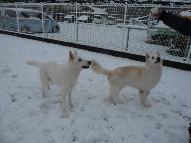 ホワイトスイスシェパード★アブー★&★レオン★の雪遊び