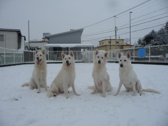 ホワイトスイスシェパード我が家の4匹と雪