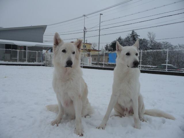 ホワイトスイスシェパード★アブー★&★レオン★と雪
