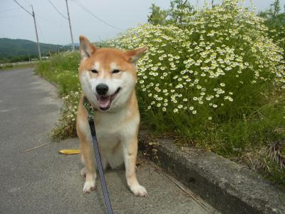 なじみの花?