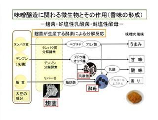 味噌醸造に関わる微生物とその利用(香味の形成)