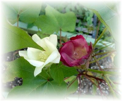 綿の花10
