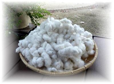 綿の収穫2