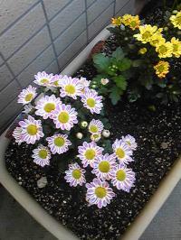 菊 二種類