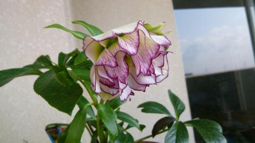 クリロー開花