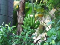 木になっているバナナ