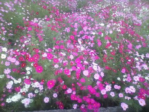 見奈良の秋桜121014_R
