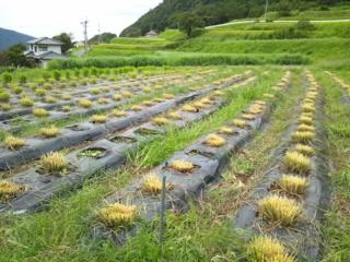 立野収穫925