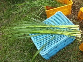 立野収穫92502