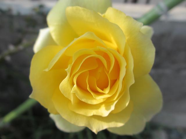 2月のバラ