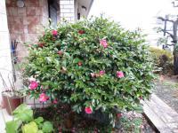 2012.12.28 山茶花1