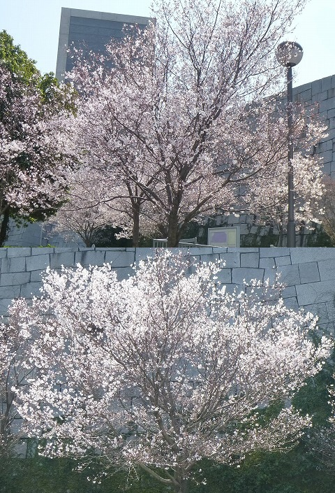 13.3.22さやま池の桜