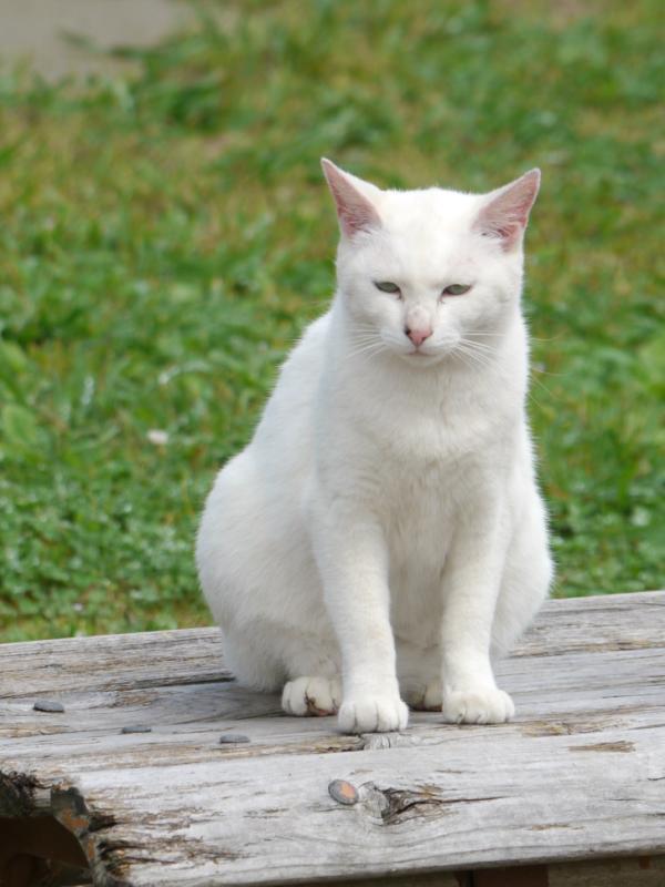 ねこ 白猫3
