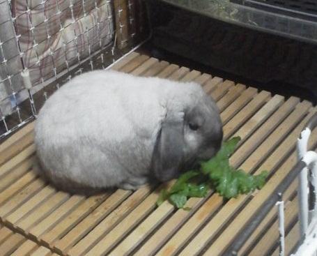 レタス食べるもち