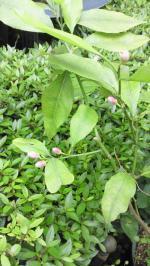 2012May レモンの花