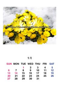 1月のカレンダー福寿草