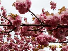 120424夏日と八重桜-1